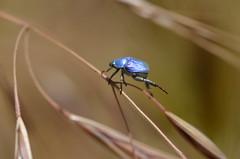 """Blauwe bladsprietkever"" (Hoplia coerulea) (Frank Berbers) Tags: macro insect beetle frankrijk käfer kever coleoptera ardèche scarabaeidae scarabs hopliacoerulea blatthornkäfer bladsprietkever nikond5100"