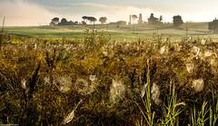 Silken threads and silver strings. (AlbOst) Tags: italy mist spiders tuscany wildflowers spidersweb webs morningsun morningmist teasels wildplants mistclearing