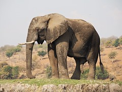 happy to see you? (vitamink8) Tags: africa elephant wildlife safari botswana chobenationalpark