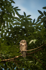 Spotted Owlet (Athene brama) (NatureStills) Tags: travel wild vacation india slr bird tourism nature birds animal vertical fauna forest asian flying wings highresolution nikon rainforest asia southeastasia day natural outdoor dwarf wildlife small stock beak feathers nopeople visit aves tourist professional international jungle tiny micro owl tropical destination nikkor dslr teeny biology fareast bangladesh identify biological oldworld bengali organism wildlifephotography spottedowlet athenebrama d810 sreemongol naturestills scotttrageser httpwwwnaturestillscom bangladeshpythonproject