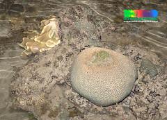 Maze hexagonal coral (Family Merulinidae) bleaching 2015 (wildsingapore) Tags: nature island marine singapore underwater wildlife east coastal shore intertidal seashore pulau marinelife semakau cnidaria wildsingapore faviidae scleractinia