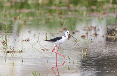 黑翅長腳鷸  Black-winged Stilt Himantopus himantopus (k11wolfman) Tags: bird nature beautiful taiwan 台灣 台南 植物 動物 stilt 草 blackwinged 高蹺鴴 戶外 黑翅長腳鷸 紅腿娘子