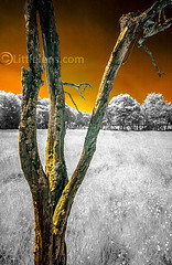 Wigan-inf-050tiny (Misses Davies) Tags: trees orange colour tree texture yellow photography lancashire bark infrared false wigan