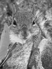 Grey squirrel. (Mayte Moya) Tags: pictures usa pet naturaleza pets nature animal animals mammal us orlando squirrel squirrels unitedstates florida wildlife eu peanuts winterpark animales fl misfotos rodents ardilla estadosunidos graysquirrel greysquirrel seminolecounty 2014 eeuu babysquirrel orlandoflorida mamfero roedor ardillas sciuridae greatnature roedores sciurus mamiferoroedor stoptheabuse noalmaltratoanimal picturesofsquirrels photosofsquirrels rodentmammal caulfieldst misfotosdeardillas squirrelseatingpeanuts stopthesquirrelslam greysquirrelbaby ardillacomiendoman