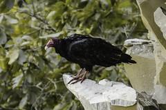 _DSC2462 (sealcats) Tags: turkey letchworth vulture