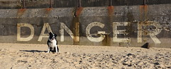 I Am The Danger (EJ Images) Tags: uk england dog pet slr beach sign wall danger coast mac sand nikon friend collie nef bc sheepdog border norfolk canine panoramic seawall coastal d750 lettering bordercollie dslr gorleston eastanglia dangersign 2015 nikonslr norfolkcoast gorlestonbeach nikondslr 24120mmlens norfolkcoastal ejimages nikond750 dsc3485c1