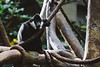 White-Cheeked Gibbon (Garret Voight) Tags: tree nature minnesota animal mammal zoo wildlife jungle ape primate applevalley whitecheekedgibbon