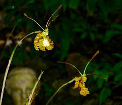 Anglų lietuvių žodynas. Žodis spider orchid reiškia voras orchidėja lietuviškai.
