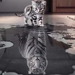 tiger (romy.hoogenboom25) Tags: white animal tiger tijger wit