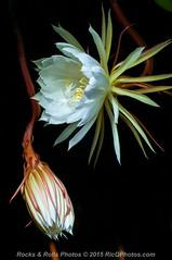 HZP_0816 (Ric Quintanilla) Tags: cereus nightblooming