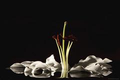 Madonna Lily (B.Graulus) Tags: plant black flower photography flora foto fotografie lily background picture lirio bloem lelie