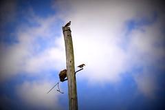 Os barreiritos (Eduardo Amorim) Tags: brazil southamerica brasil pelotas riograndedosul pampa campanha brsil barreiro amricadosul amriquedusud sudamrica  suramrica furnariusrufus amricadelsur sdamerika hornero joodebarro barrero costadoce americadelsud americameridionale joobarreiro eduardoamorim
