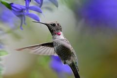 baby hummingbird   🌹 (sugarbear1956) Tags: salviaguaranitica abigfave diamondclassphotographer flickrdiamond d7200 frameitlevel01 frameitlevel02 autofocus frameitlevel06 frameitlevel03 frameitlevel04 frameitlevel05 worldofanimals thebestshot wild