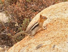 Golden-mantled Ground Squirrel (Mike Richardson and Sarah Winch) Tags: california park usa point squirrel pass ground national yosemite yosemitenationalpark mammals olmsted tiogapass tioga olmstedpoint goldenmantledgroundsquirrel goldenmantled lateralis spermophiluslateralis spermophilus usamammals
