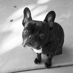 Good Morning! (Lainey1) Tags: leica bw dog monochrome oz bulldog frenchie frenchbulldog ozzy frogdog lainey1 zendog leicadlux4 elainedudzinski ozzythefrenchie
