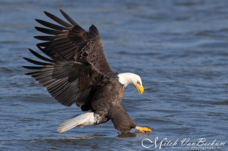 Say Goodbye Fishy! (American Bald Eagle)