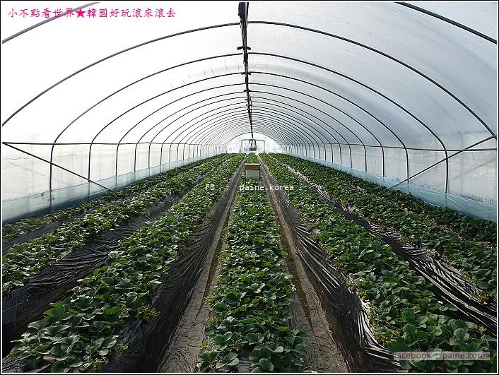 草莓園採草莓 (3).JPG