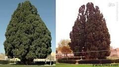 درختی که پسر نوح (ع) در یزد کاشته + عکس (parsdown) Tags: نوح پسرنوح پسرنوحبابدانبنشستو پسرنوحسعدی پسرنوحکیست حامپسرنوح داستانپسرنوح یافثپسرنوح