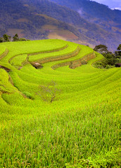 paddy terrace (vy.vy) Tags: field rice mountainous harvest nature