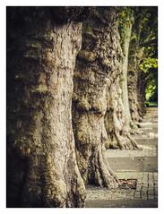 Treeline - Stadtgarten Karlsruhe (Sebastian Bayer) Tags: bokeh pattern stadtgartenkarlsruhe border sepia micro43 ausflug karlsruhe garden drausen warm omdem5ii fluchtpunkt omd tiefe olympus nature rahmen bume trees stadtgarten 4015028 baum tree muster citygarden perspective garten trip zoo outdoor depth mft outside