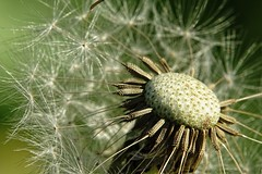 Freehand shot (Michael Schnborn) Tags: hx400v hx400 dschx400v sony carlzeiss flower macro closeup dandelion lwenzahn outside sunny