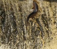 Another Failed Jump (Derbyshire Harrier) Tags: salmon waterfall stainforthforce yorkshire autumn 2016 atlanticsalmon coloured breeding jumping leaping salmosalar limestone splash