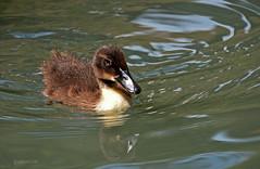 SA River Walk little baby duck (justkim1106) Tags: babyduck swimming mallard duckling riverwalk sanantonio texas nature