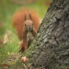 Behind a tree (hedera.baltica) Tags: squirrel redsquirrel eurasianredsquirrel wiewirka wiewirkapospolita sciurusvulgaris