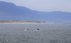Two humpback whales at North Beach Wollongong today (Celeste33) Tags: whales humpback tailslapping wollongong australia beach coast