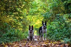 Patiently waiting (D.A.M) Tags: autumn autumncolours dog dogs forest bordercollie eastlothian scotland westsaltouneastsaltoun westsaltoun eastsaltoun