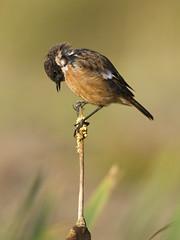 Stonechat (J J McHale) Tags: dof bird nature wildlife stonechat wing