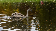 Autumn reflections (PChamaeleoMH) Tags: anatidae autumn birds cygnets fauna leaves oxford swans universityparks