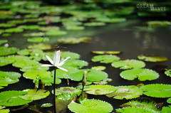 Lotus, Ubud (Rocio taburelli) Tags: nature ubud libelula lotus lotusflower loto green flowerphoto dragonfly