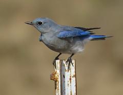 Mountain Bluebird (HeidiG71) Tags: mountainbluebird bluebird bird nature wildlife colorado coloradosprings bigjohnsonreservoir