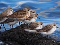 Red knot, curlew sandpiper and stints (Hone Morihana) Tags: westerntreatmentplant shorebirds migratorybirds curlew sandpiper