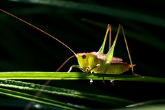 IMG_0023 Warming (oldimageshoppe) Tags: insect katydid sunning coolmorning fall