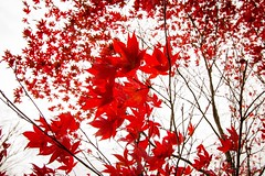 Red Leaves of Autumn (Forty-9) Tags: autumn redleaves 2016 eos60d 27102016 chatsworth lightroom nature canon thursday forty9 holiday leaves red october 27thoctober2016 efs1022mmf3545usm efslens tomoskay