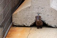 North American mink (Bridgetony) Tags: atlantic canada capebreton northamerica novascotia animal mink