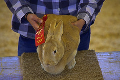 Winning Rabbit (swong95765) Tags: winner rabbit animal countyfair girl judging