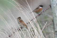 Friends (Shane Jones) Tags: reedbunting stonechat bird wildlife nature nikon 200400vr d500
