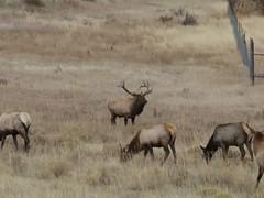 Poor Guy! (114berg) Tags: 17october16 rock mountain national park male elk rejection sad trumpetor