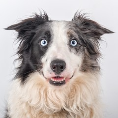 Smile (Chris Willis 10) Tags: dog will border collie smile mouth