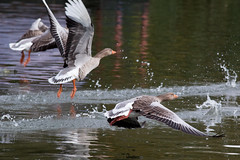 untitled (robwiddowson) Tags: geese goose bird birds animal animals nature natural wildlife robertwiddowson photo photograph photography image picture