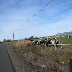 Cows on Stony Point Road (Sonomabuzz) Tags: sonomacounty cows california rohnertpark
