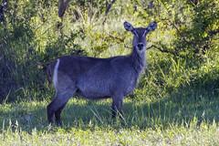 IMG_7719 (Kev Gregory (General)) Tags: safari marataba game reserve thabazimbi south africa kev gregory canon 7d sigma bigma 50500 zoom lens wildlife nature animal