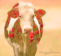 The 4 seasons: spring printemps (laurek.photography) Tags: vache animal prairie nature cow ngc tup spring printemps flickrunitedwinner