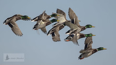 nade real macho (Anas platyrhynchos) (jsnchezyage) Tags: nadereal anasplatyrhynchos ave pjaro pato fauna naturaleza birding bird