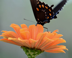 Butterfly wingspots (justkim1106) Tags: butterfly insect flower zinnia nature
