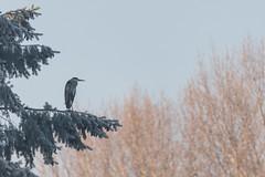 DSC_2742.jpg (Saztul) Tags: bird heron reiher wildlife nature natur vogel emstek niedersachsen germany de