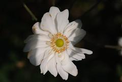 20160924_Cinq_Sens_Yvoire (10 sur 13) (calace74) Tags: fleurs macro jardinsdes5sens yvoire rhonealpes foretderipaille hautesavoie nature panorama thononlesbains